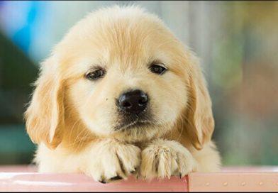Qual é o melhor momento para contar ao seu cachorro que ele é adotado?